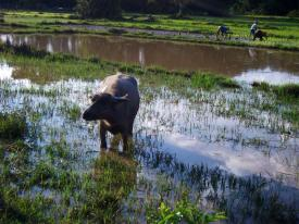 LAOS: Water Buffalo in the paddy fields on Don Det Island. Moo! (Do Water Buffalo moo?!)
