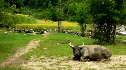 VIETNAM: Buffalo chillaxing in Sapa. No cares in the world.
