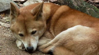 AUSTRALIA: Look how cute Dingoes can be! When they're not stealing your flip flops or your baby that is ;)