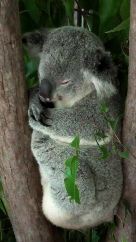 AUSTRALIA: You can't go to Australia without snapping a Koala. This one's just asking for a squeezing.