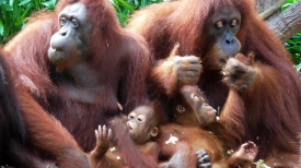 SINGAPORE: Orangutan family monkeying around at Singapore Zoo. You can eat your breakfast with these guys - pretty cool!