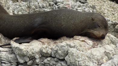 NEW ZEALAND: Seal colony in Kaikoura. Hundreds of these guys chilling on the rocks.