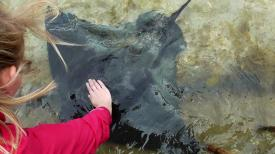 NEW ZEALAND: Stingray feeding in Gisborne. These guys are pretty silky. Especially when trying to hump you.