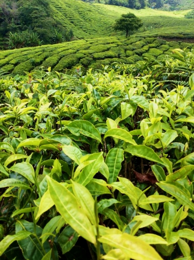MALAYSIA: Tea Plantations in the Cameron Highlands. Being British, we like our tea.