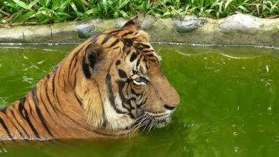 BORNEO: Malayan Tiger having a cool off. Don't blame ya buddy.